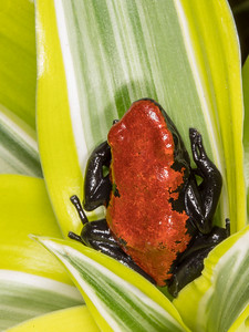 (Dendrobates galactonotus) Splash-backed poison dart frog, captive