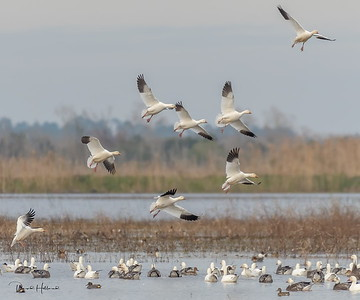 Plenty of Snow Geese along the LA coast from up North
