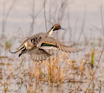 Pintail Drake escapes at the CPR