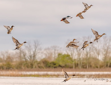 Smilers, Green wing and Pintails on the move