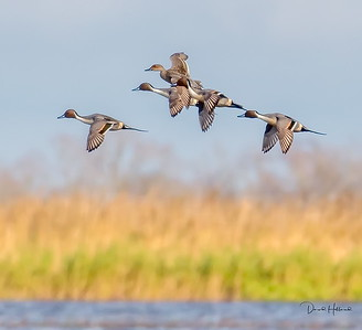 1 Hen and 4 Pintail Drakes @ the Cameron Prairie Refuge (CPR)