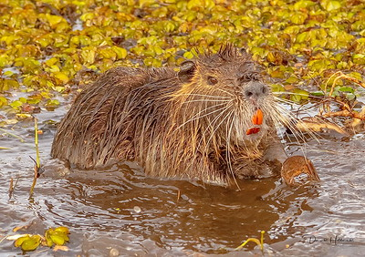 This Nutria needs some serious dental work!!