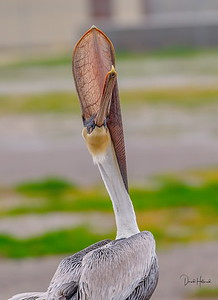 Contorting Pelican--not sure what he was doing really?