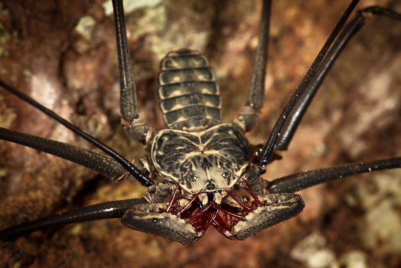 An amblypygi in the jungle.