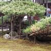 Detail of ancient tree at Kinkaku Ji Golden Pavilion