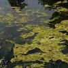 Imperial algae