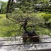 Happo-En bonsai tree