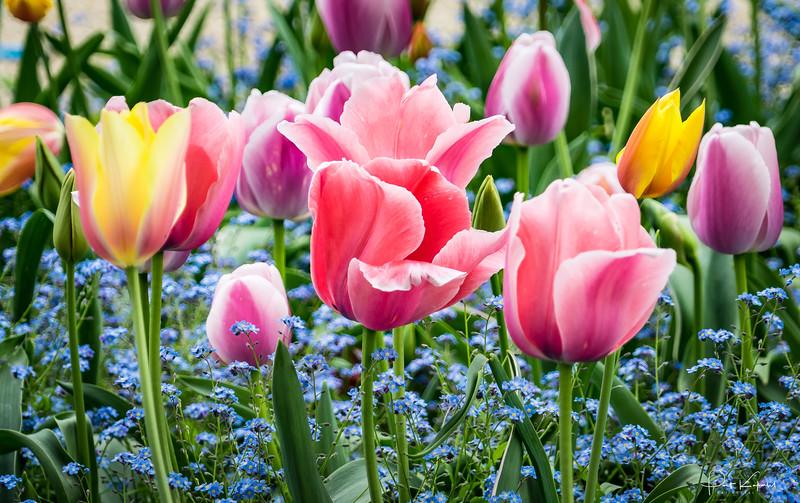 Monet's Tulips