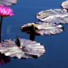 Water Lily Dreamscape