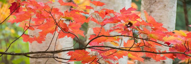 Killarney Maple and Birch