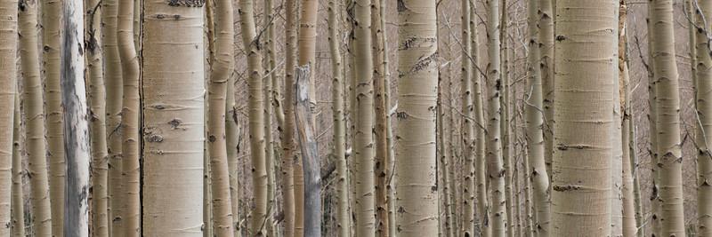 Aspen Grove #1