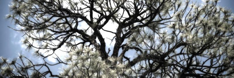 Santa Fe Pine
