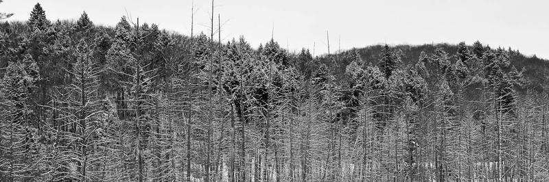 Algonquin Stand in Winter
