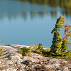 Killarney White Pine