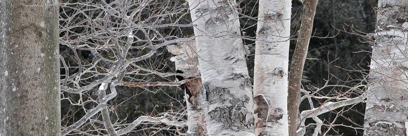 Algonquin Birch in Winter