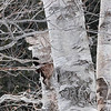 Algonquin Birch in Winter