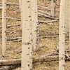 Aspen Grove #6