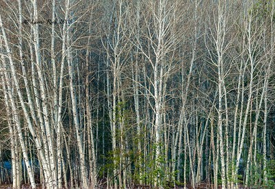 Early Morning Birch Trees