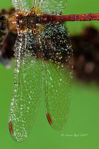 Dewy Meadowhawk Dragonfly