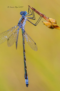 Dewy Spreadwing Damselfly