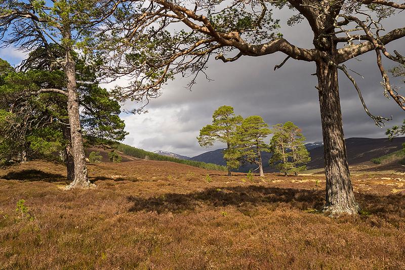 Caledonian pines, Glen Lui, Cairngorms National Park, Scotland