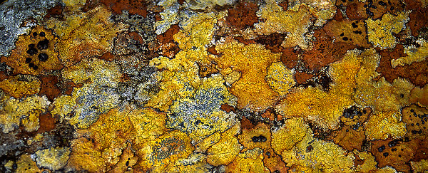 lichens, Torridon, Scottish Highlands