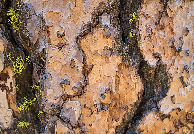 Redwood bark and lichens, Yosemite Valley, California, USA