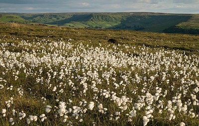 cotton grass # I North York Moors National Park, England