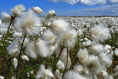 cotton grass, North York Moors