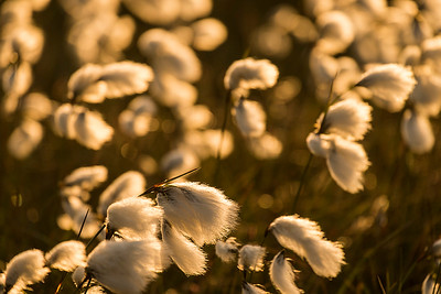 cotton grass # III North York Moors National Park, England