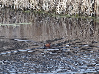 A Cinnamon Teal swimming in West Dome's pond.