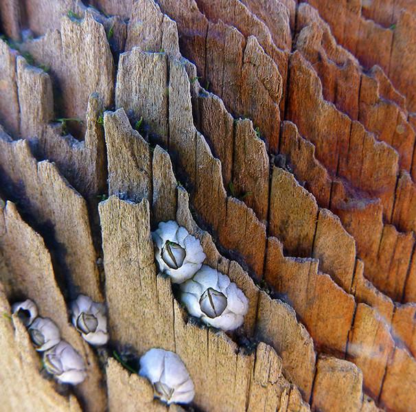 barnacles, Yorkshire coast