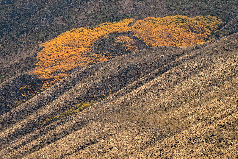Yellow aspens # II, Inyo National Forest, California, USA