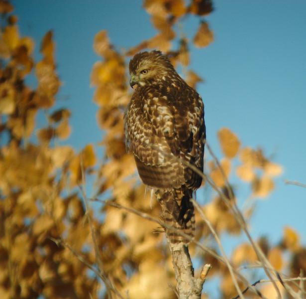 Im Red-taild Hawk