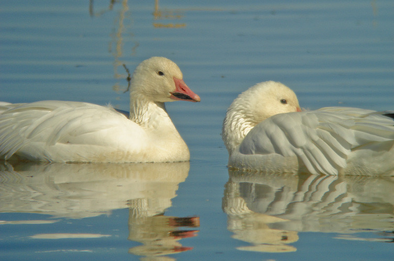 Snow Geese: come here often?