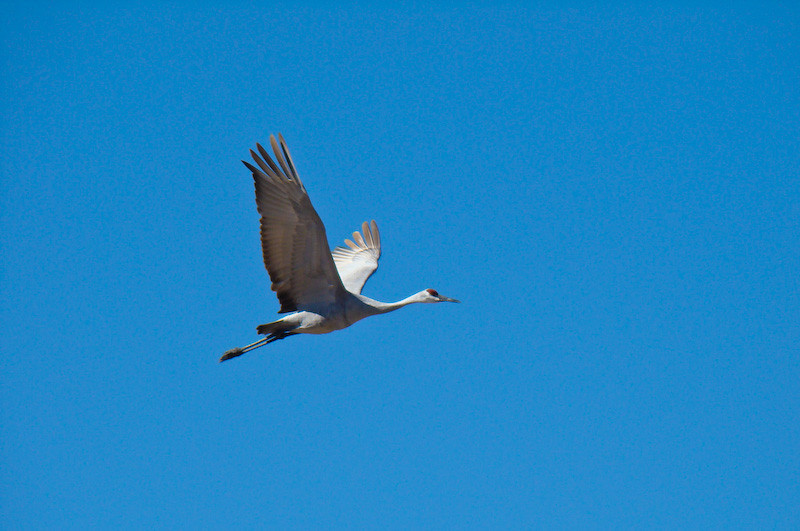 Sandhill Crane: in flight