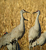 Sandhill Cranes Early