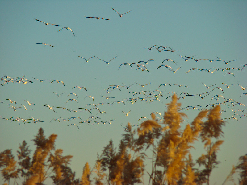 Geese arise 10