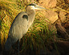 Heron in Early Light 1