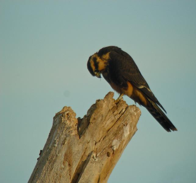 Alpamado Falcon 1