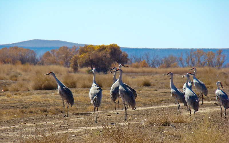 Sandhill Cranes: on guard