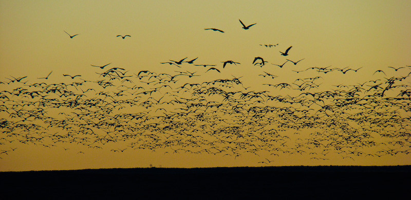 Snow Geese Flyout