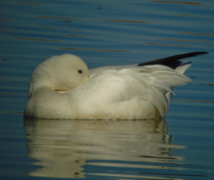 Snow Goose: at rest
