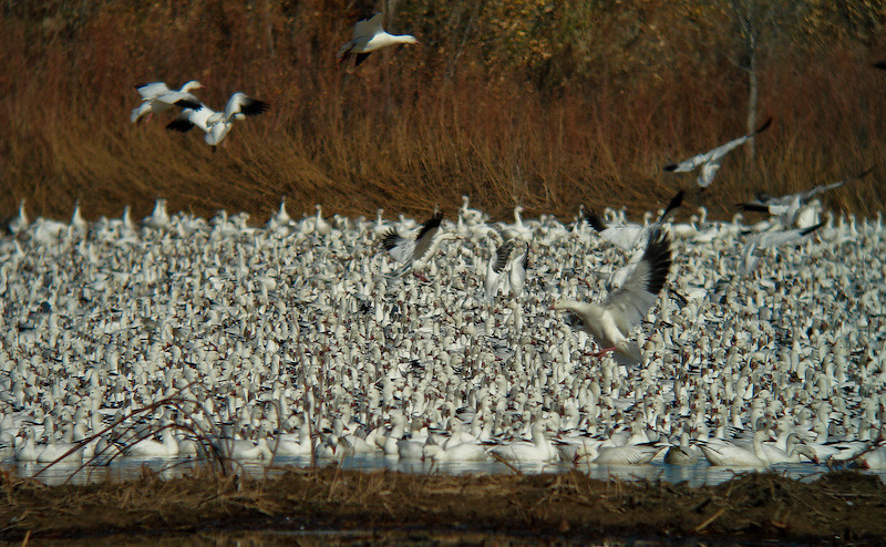 Snow Geese: river of white