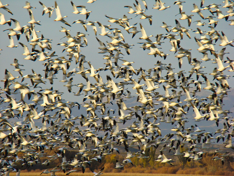 Snow Geese startle