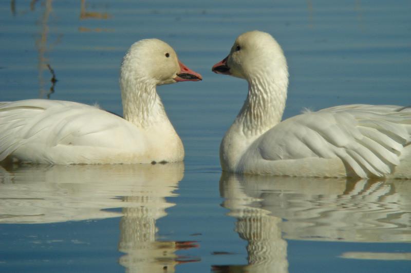 Snow Geese: no, you?