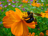 Big Bee in the Flowers