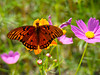 Fritilary on Fire