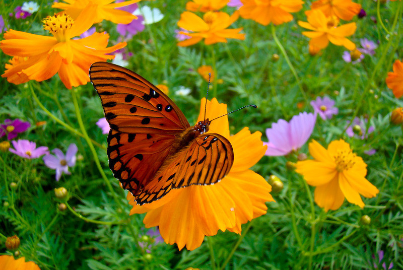 Gulf Fritilary in the Flowers
