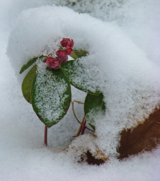 Wintergreen winterwhite...